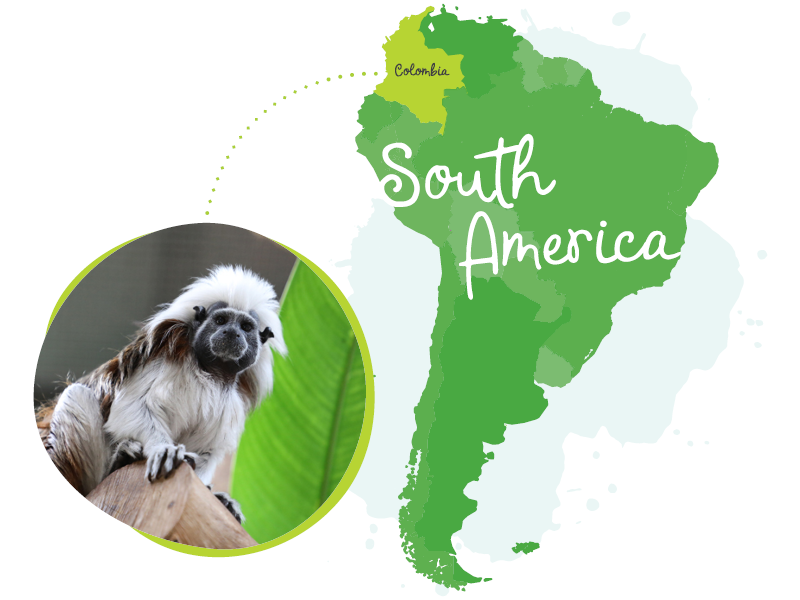 South america map with tamarin